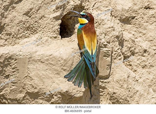 Bee-eater (Merops apiaster) on breeding tube, Biosphere Reserve Danube Delta, Dobruja, Romania