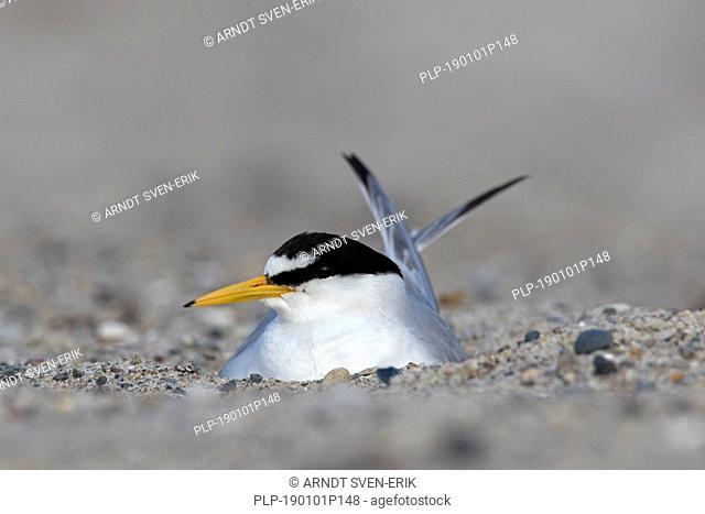 Little tern (Sternula albifrons / Sterna albifrons) breeding, incubating eggs on nest on beach in late spring / summer