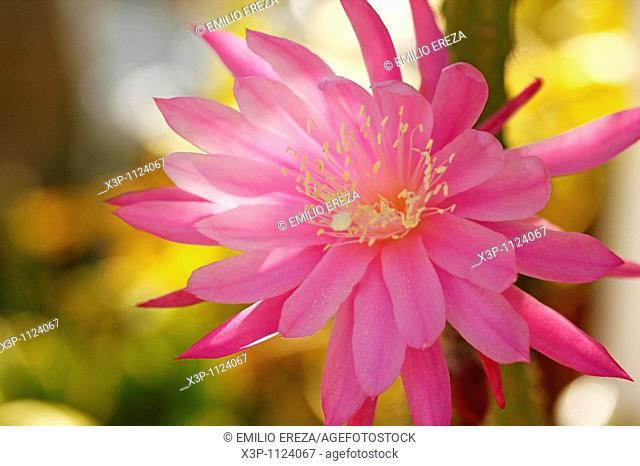 Cactus flower (Aporophyllum sp.)