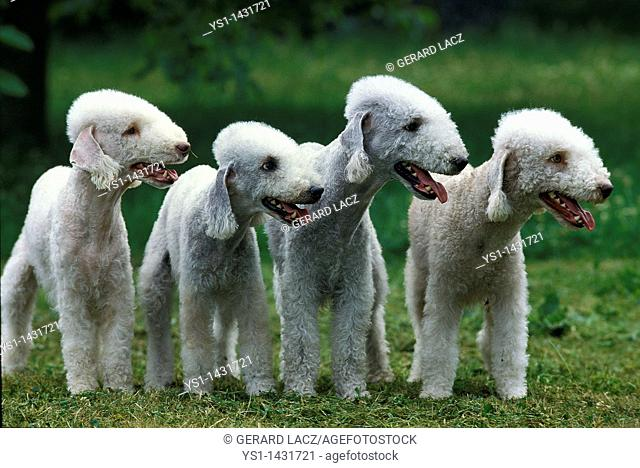 BEDLINGTON TERRIER, GROUP OF ADULTS STANDING ON GRASS