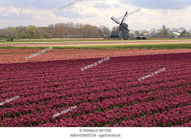 Blossoming field of tulips near Alkmaar, windmill, Holland, the Netherlands, North Holland