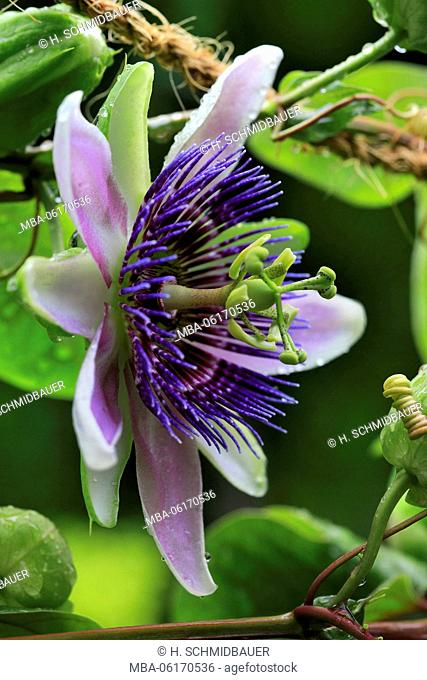 Passionflower, Passiflora incarnata, bloom