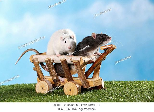 rats with wooden wagon