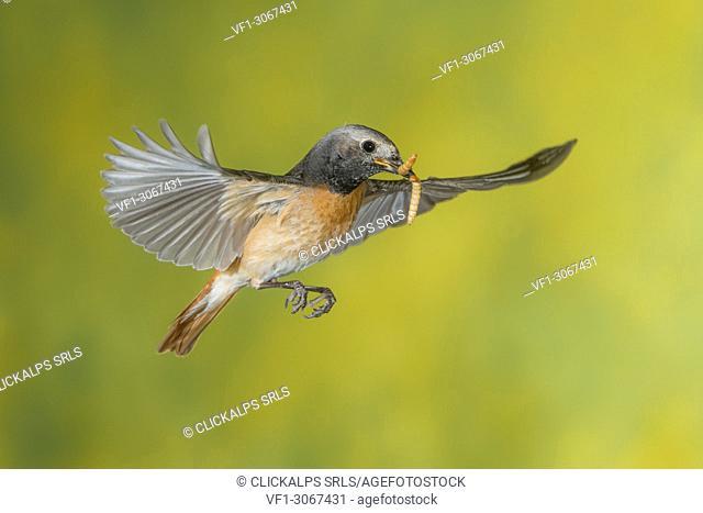 Female redstart in flight with prey, Trentino Alto-Adige, Italy