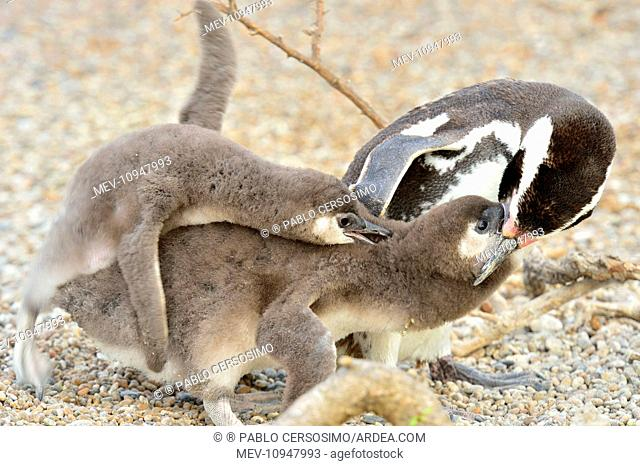 Magellanic Penguin - feeding two chicks Peninsula Valdes, Patagonia, Argentina, South America