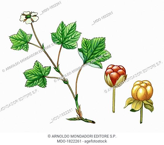 Cloudberry (Rubus chamaemorus), by Giglioli E., 20th Century, ink and watercolour on paper. Whole artwork view. Drawing of the plant with fruits and flowers