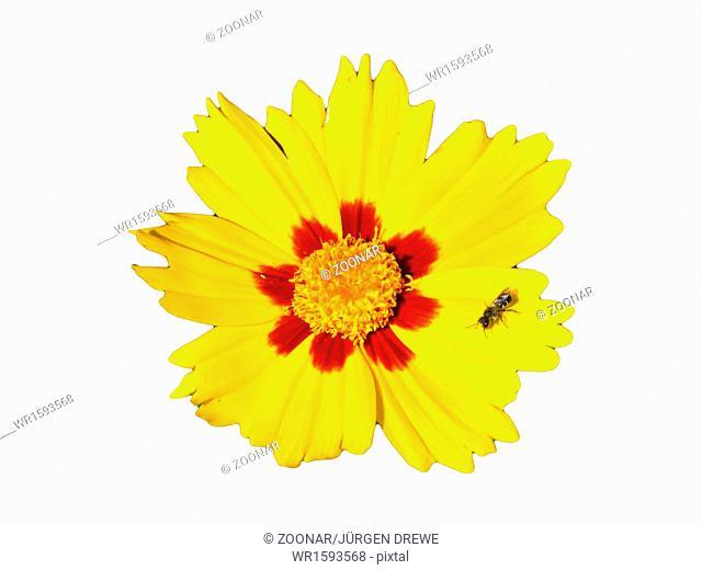 Coreopsis lanceolata with bee