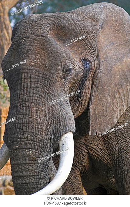 An african elephant that walked into the Chongwe river camp