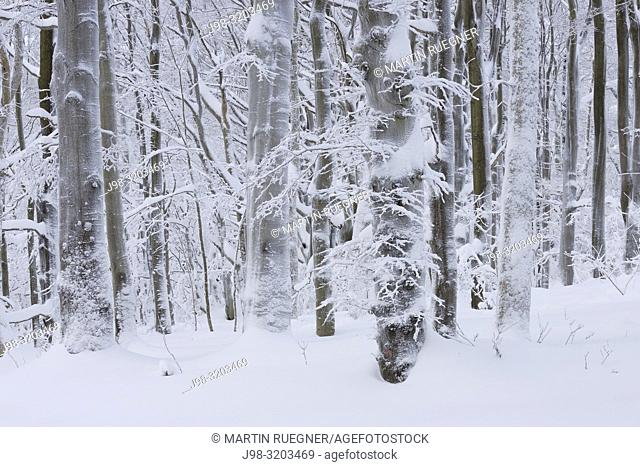 Snow covered tree trunks in winter forest. Rhoen, Rhoen Mountains (Rhön), Hesse, Germany