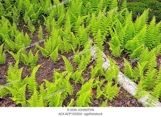 Hayscented fern (Dennstaedtia punctilobula) Colony with fallen white birch tree trunk, Greater Sudbury, Ontario, Canada