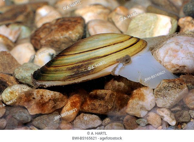 Common pond mussel, duck mussel (Anodonta anatina), kreeping over pebbles, Germany, Bavaria, Isental