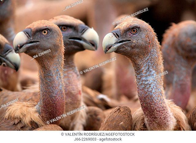 griffon vulture (Gyps fulvus). Natural Park Peñagolosa. Castellón