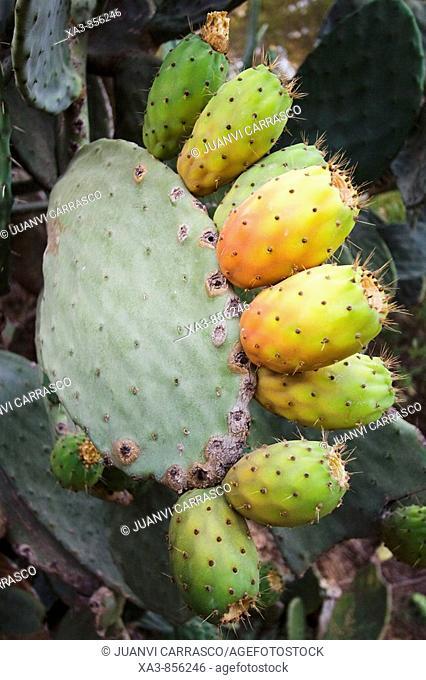 Prickly pear fruits, Opuntia ficus-indica, Las Rodanas, Comunidad valenciana, Spain