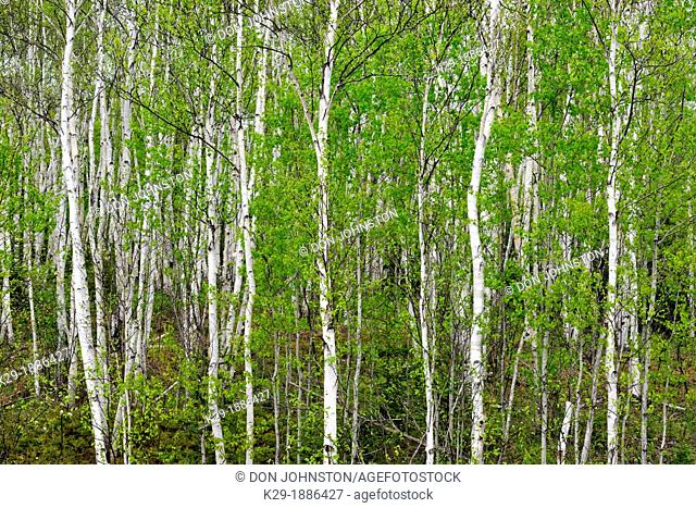 A hillside of white birch Betula papyrifera woodland in early spring , Greater Sudbury Lively, Ontario, Canada