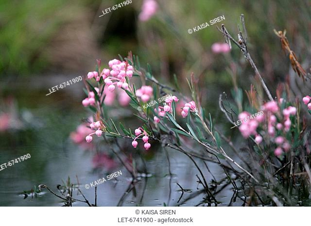 Bog-rosemary Andromeda polifolia is apoisoneus plant of bogs and peats of the Northern hemisphere  Luosto, Finland