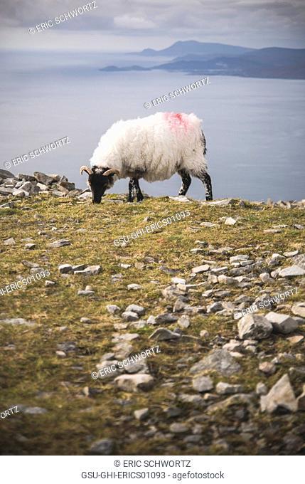 goat, animal, grazing, nature, Ireland