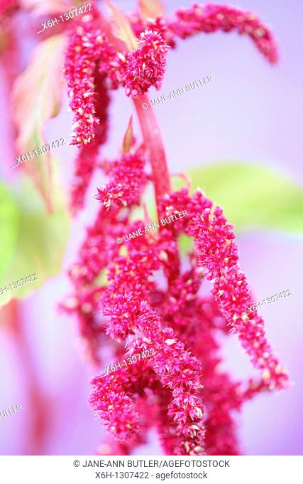 Soft Focus Amaranth and its Gorgeous Red Drooping Flowers