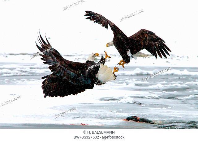 American bald eagle (Haliaeetus leucocephalus), two American bald eagles in conflict for the salmon, USA, Alaska, Chilkat Bald Eagle Preserve