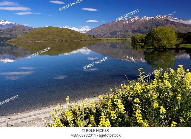 New Zealand, South-island, Central Otago, lake Wanaka, shores, yellow lupines, Lupinus luteus, fuzziness, landscape, view, lake, Wannake-Lake, water, reflection