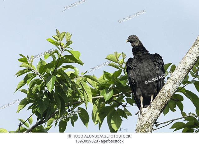 Black Vulture. Coragyps atratus. Costa Rica