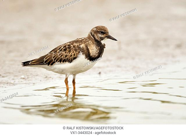 Turnstone ( Arenaria interpres ), full body, side view, standing in shallow water of the wadden sea, close to the waterline, wildlife, Europe