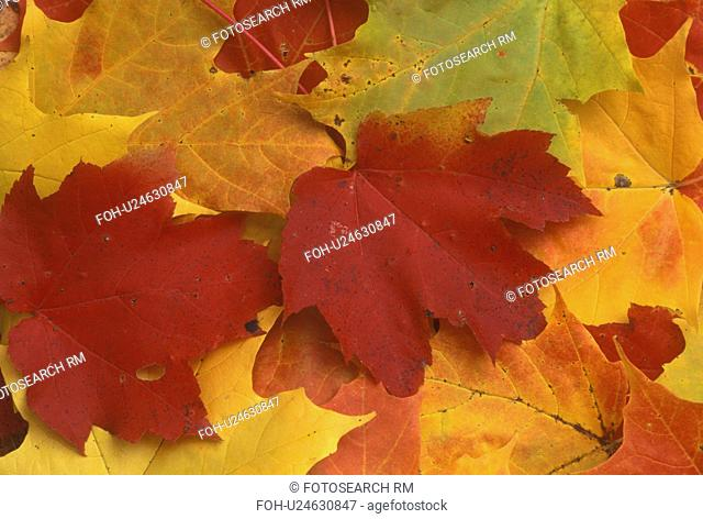 autumn, maple leaf, A close-up of a cluster of colorful maple leaves (red, yellow, green, orange) lay on the ground