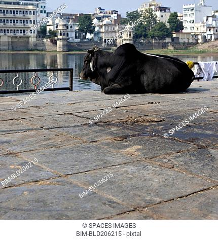 Sacred Cow at the Bathing Ghat