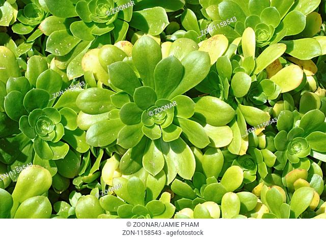 Aeonium pseudotabuliforme plant