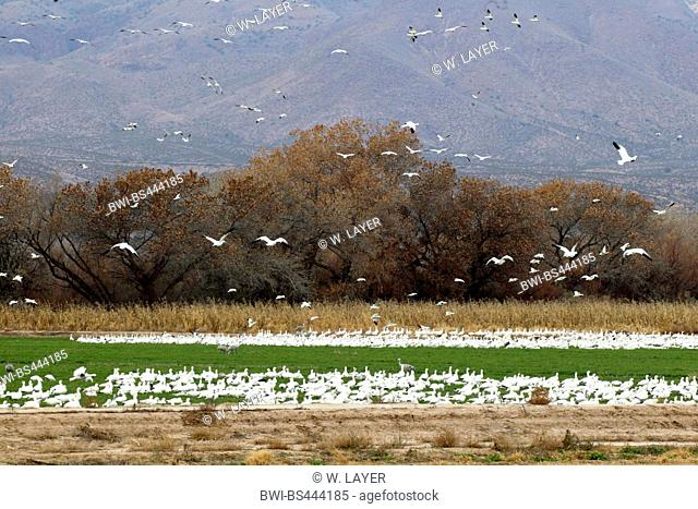 snow goose (Anser caerulescens, Chen caerulescens), flock on the ground, USA, New Mexico