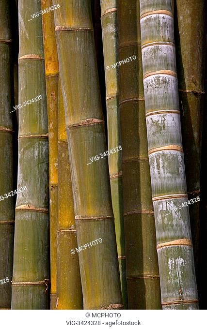 GIANT BAMBOO at the NATIONAL KANDAWGYI GARDENS in PYIN U LWIN also known as MAYMYO - MYANMAR - 04/05/2012