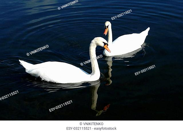 Two white swans (Cygnus olor) swimming in the lake