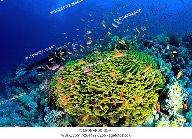 Egypt, Red Sea, Sharm el Sheikh, Lettuce corals (Echinopora pacificus) with diver and school of scalefin anthias (Pseudanthias squamipinnis)