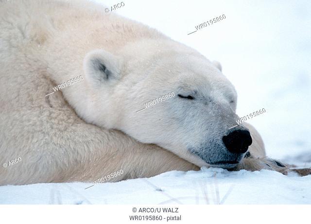Polar, Bear, sleeping, Churchill, Manitoba, Canada, Ursus, maritimus, Thalassarctos, maritimus