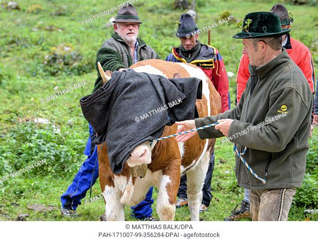 Farmers drive cattle near Schönau, Germany, 7 October 2017. Cattle were driven down from their mountain pastures into the valleys in festive headgear at the end...