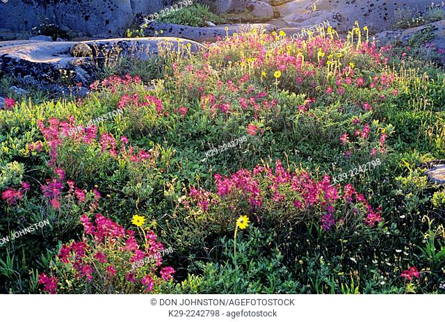 Alpine arnica and Northern hedysarum, Churchill, Manitoba, Canada