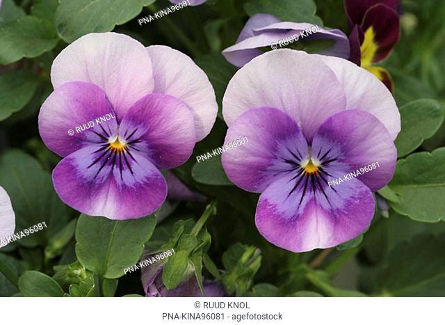 Violet Viola spec