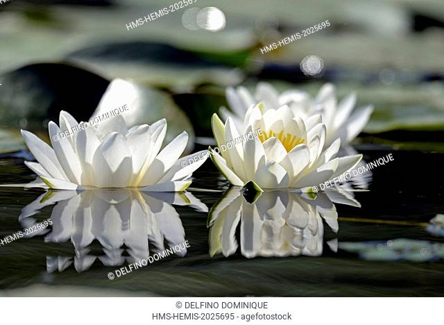 Romania, Danube Delta listed as World Heritage by UNESCO, flora, White Lily (Nymphaea alba) in bloom on a lake delta