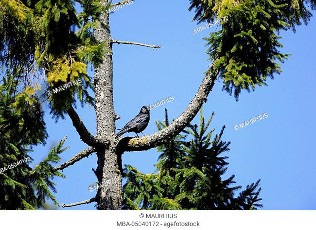 Carrion crow, Corvus corone, branch, sitting, side view