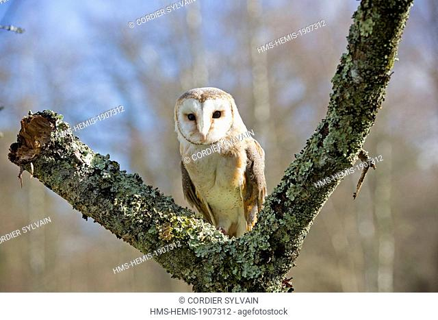 France, Loiret, Sologne, Ligny le Ribault, Barn Owl (Tyto alba), perched