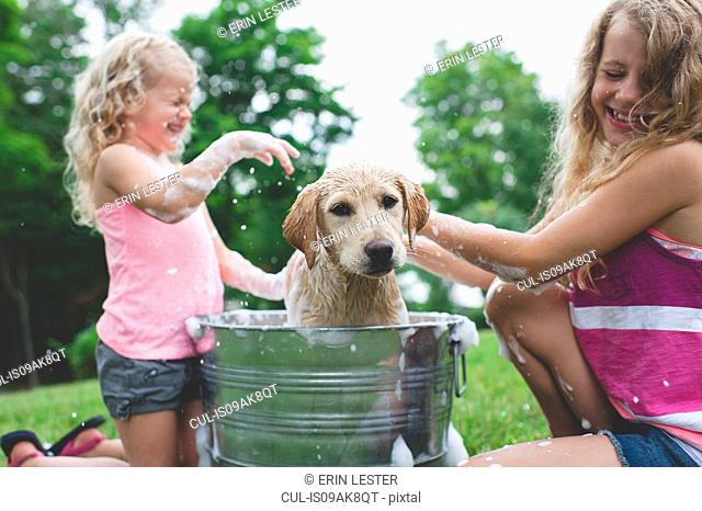 Labrador Retriever puppy in bucket shaking bath water at sisters