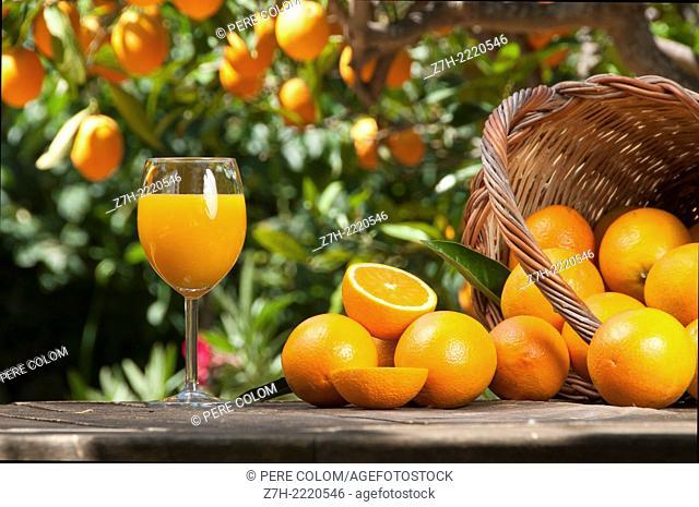 Orange juice freshly picked & squeezed with oranges around & basket under tree
