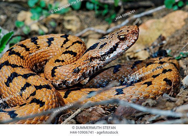 viper, vipers, adder, adders, asp viper, Vipera a. aspis, snake, snakes, reptile, reptiles, portrait, protected, endangered, indigenous, venom, venomous