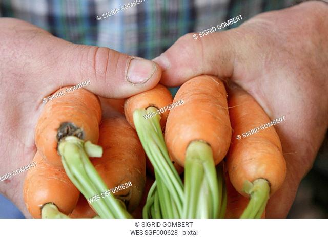 Hands holding carrots