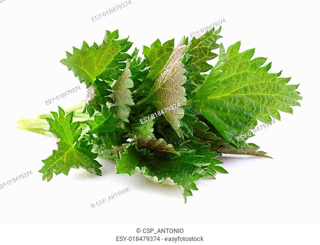 Young nettle