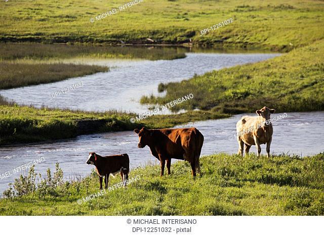 Cattle along a hillside creek bank grazing; Alberta, Canada