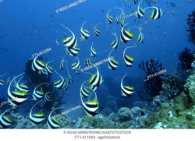 A school of schooling bannerfish (Heniochus diphreutes). New Britain Island, Papua New Guinea