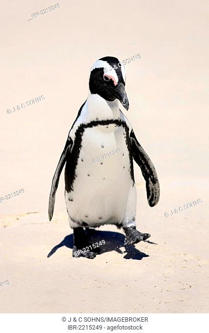 Jackass Penguin, African Penguin or Black-Footed Penguin (Spheniscus demersus), walking on the beach, Boulder, Simon's Town, Western Cape, South Africa, Africa