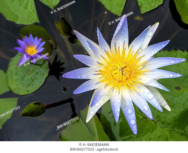 water lily, pond lily (Nymphaea spec.), flower with raindrops, Singapore