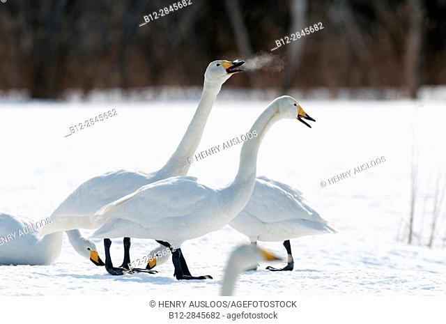 Whooper swan in the snow (Cygnus cygnus), Japan