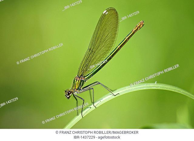 Banded demoiselle (Calopteryx splendens), female, Ferto-Hanság National Park, Hungary, Europe